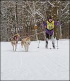 Skijoring With Siberians