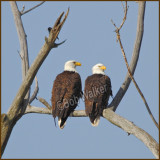 Two Birds Of A Feather, Eagles That Is, Are Sticking Together
