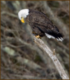 American Bald Eagle Perched High Upon A Limb
