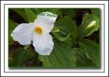 Large-flowered Trillium (Trillium grandiflorum) a.k.a. White Trillium