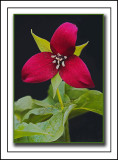 An Artist's Rendering Of A Purple Trillium a.k.a. Wake-robin