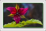 Backlit Purple Trillium