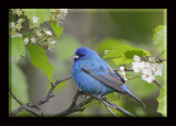 An Indigo Bunting (Passerina cyanea) Perched In An Apple Tree