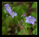 Wild Geraniums (Geranium macalatum)