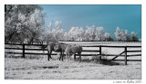 horses at the fence
