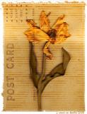 Pressed Flowers (tulip)