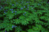 Mayapples & bluebells