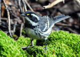 Warbler, Black-throated Grey