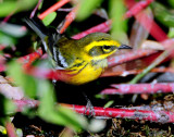 Warbler TownsendsD-011 Juvenile.jpg