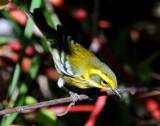 Warbler TownsendsD-008 Juvenile.jpg
