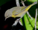 Warbler, Virginia's