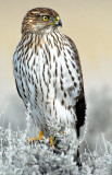 Hawk, Cooper's (Juvenile)11-22-09