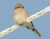 Shrike, Northern (Juvenile)