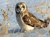 Owl, Short-eared--1/11/10