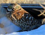 Owl, Burrowing (AI)