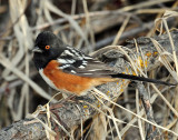 Towhee, Spotted