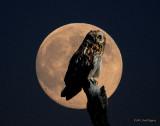 Owl, Short-eared (moon)