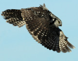 Owl Northern-hawk D-009.jpg
