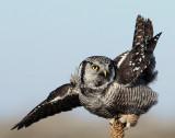Owl Northern-hawk D-021.jpg