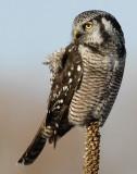 Owl Northern-hawk D-038.jpg
