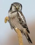 Owl, Northern-hawk