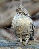 Grouse Ruffed D-030.jpg