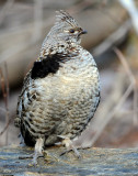 Grouse Ruffed D-031.jpg