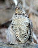 Grouse Ruffed D-033.jpg