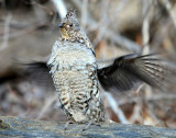 Grouse Ruffed D-034.jpg