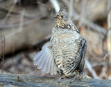 Grouse Ruffed D-035.jpg