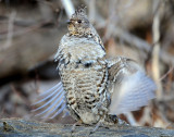 Grouse Ruffed D-037.jpg