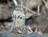 Grouse Ruffed D-040.jpg