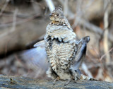 Grouse Ruffed D-041.jpg