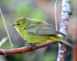 Warblers, Orange-crowned,