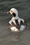 Ducks, Geese, Herons, and Swans