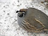 068 California quail.JPG