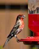 The hummingbird imposter