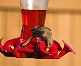 Faux hummingbird