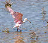 A Roseate Spoonbill on the coast in Port Aransas on Mustang Island, TX