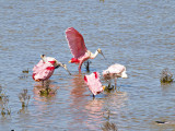 Roseate spoonbills fishing in shallow water in Port Aransas, TX