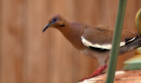 I am told this is a white winged dove.