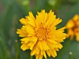 The Desert Marigold