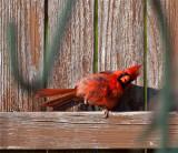 The very rare one legged Northern Cardinal