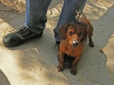 Small dog, big bark