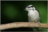 Nuthatches  & Woodpeckers