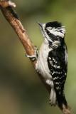 Downy Woodpecker Picoides Pubescens