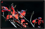 20071028 / Red leafs
