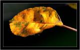 20071106 / Yellow leaf