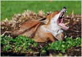 foxYawn1.jpg