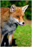redFox20.jpg